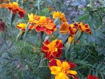 Blommor Tagetes patula, harmonipojke, fransk ringblomma Fotografering för Bildbyråer