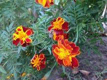 Blommor Tagetes patula, harmonipojke, fransk ringblomma Royaltyfri Fotografi