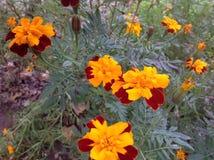 Blommor Tagetes, sol, sammet Royaltyfria Foton