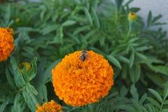Blommor - tageteserecta Arkivbild