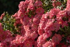Blommor texturerar bakgrund med rosa rosor och sidor royaltyfria foton