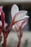 Blommor Thailand Royaltyfria Bilder