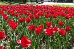 Blommor tulhs Arkivfoton