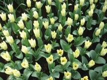 Blommor - tulpan Arkivfoton