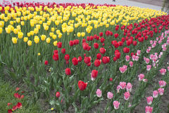 Blommor tulpan Fotografering för Bildbyråer