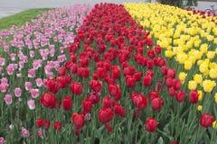 Blommor tulpan Arkivfoto