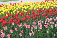 Blommor tulpan Arkivbild