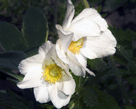 blommor två Arkivfoto