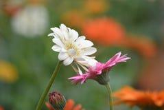 blommor två Arkivfoton
