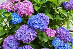 Blommor vanlig hortensiaträdgård Royaltyfria Foton