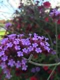 Blommor violet fotografering för bildbyråer