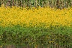 blommor water yellow Royaltyfria Foton