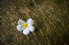 Blommor whitewhiteplumeria blommar på plumeriagreenbladet Royaltyfria Bilder