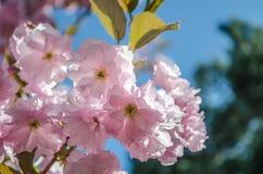 Blommorna är den delikat, för rosa färger och vit körsbärsröda blomningen som blommar i vår arkivbild