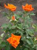 Blommorna är orange rosor i sommarträdgården arkivbild