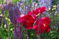 Blommorna är rosa pioner och lila lavendel arkivbild