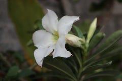 Blommorna av adeniumen är nya och blommande Fotografering för Bildbyråer
