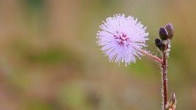 Blommorna av den känsliga växten arkivfilmer