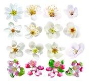 Blommorna av fruktträd som isoleras på vit bakgrund Royaltyfria Bilder