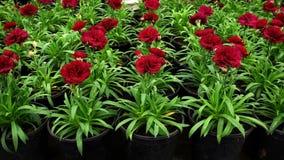 Blommorna av nejlikan i krukor Att växa blommar för att landskap stock video