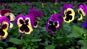 Blommorna av penséen i ett växthus Växa dekorativt och blommor för landskapdesign och gåvor arkivfilmer