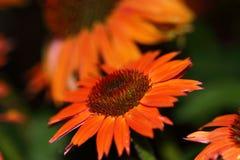 Blommorna av varm sommar för echinaceaen är den första apelsinen och senare djupt - rött i färg Royaltyfria Bilder