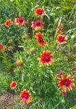 Blommorna för maktod-krysantemum Royaltyfria Bilder