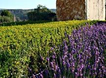 Blommorna i trädgården vegetationlavendel Arkivfoto