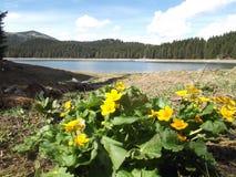 Blommorna och den svarta sjön, den Durmitor nationalparken Arkivbilder