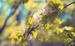 Blommorna på äppleträdet på våren Royaltyfri Fotografi