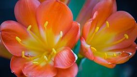 Blommorna på suckulent Arkivbilder