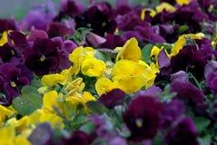 Blommorna Viola Tricolor, guling och lila med gröna blad Royaltyfria Bilder