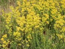 Blomningäng, Galiumverum, bedstraw för dam` s eller gul bedstraw Den Galum verumen är en örtartad perenn växt Sund växt royaltyfri fotografi