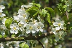 Blomningäpple Royaltyfria Foton