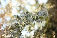 Blomningäpple i vår i trädgården arkivfoto