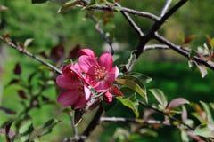 Blomningäppleträd Arkivbild