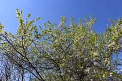 Blomningäppleträd ett Royaltyfri Fotografi