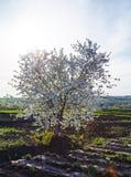 Blomningäppleträd i vår i ett plogat fält med en ljus sol och himmel royaltyfri bild
