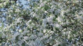 Blomningäppleträd, skott på steadicam lager videofilmer