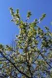 Blomningäppleträd tre Fotografering för Bildbyråer