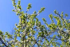Blomningäppleträd två Royaltyfria Bilder