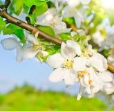 Blomningäppletree Royaltyfria Bilder