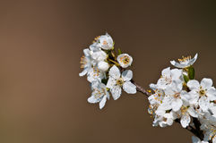 blomning Royaltyfri Bild