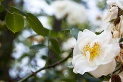 blomning Arkivbild