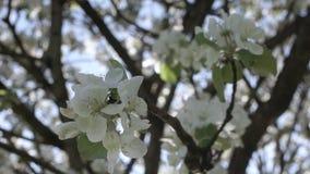 Blomning av äppleträd stock video