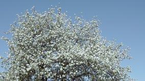 Blomning av äppleträd lager videofilmer