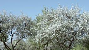 Blomning av äppleträd arkivfilmer