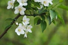 Blomning av äppleträdet Arkivbild