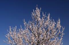 Blomning av aprikosträdet på vårsäsong mot ren blå himmel Arkivfoto