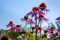 Blomning av coneflower Fotografering för Bildbyråer